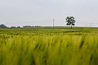 Germany, near Trassenheide, green cornfield and tree - NGF000339