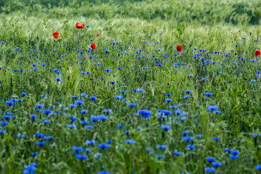 Germany, near Trassenheide, cornflowers and poppies in cornfield - NGF000342