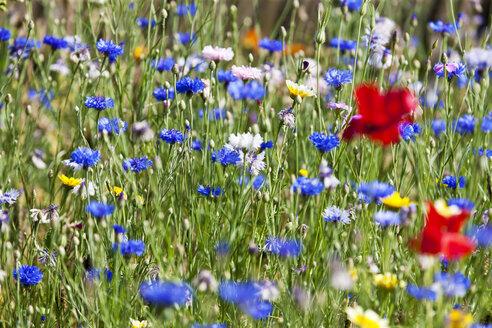 Flower meadow, Poppy, Papaver rhoeas, and cornflower, Centaurea cyanus - CSF027477