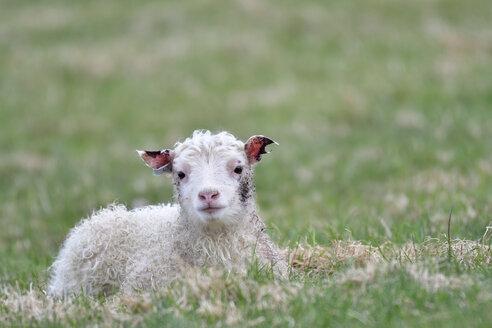 Portrait of lamb lying on a meadow - FDF000171