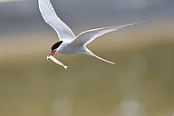 Iceland, flying seagull with prey - FDF000174