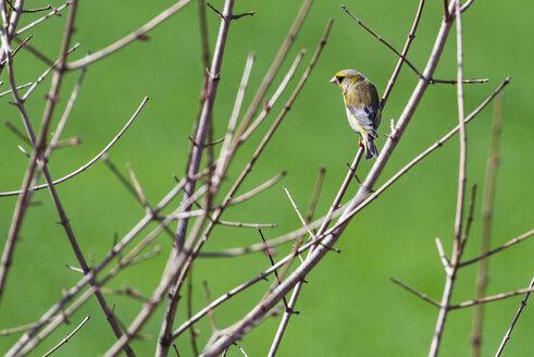 Siskin on a twig, Carduelis spinus - LOMF000298