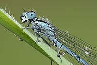 Wet Azure damselfly on blade of grass - MJOF001187