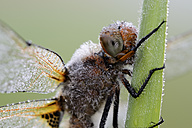Portrait of wet scarce chaser - MJOF001193