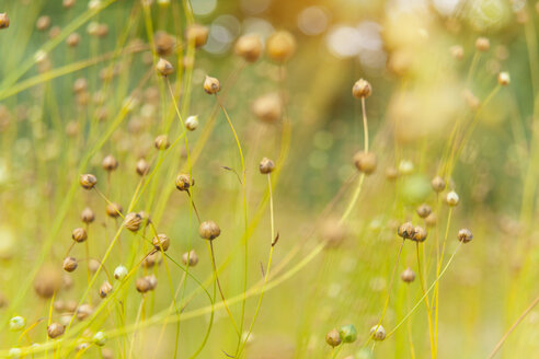 Germany, Bavaria, flax in spring - HSIF000440