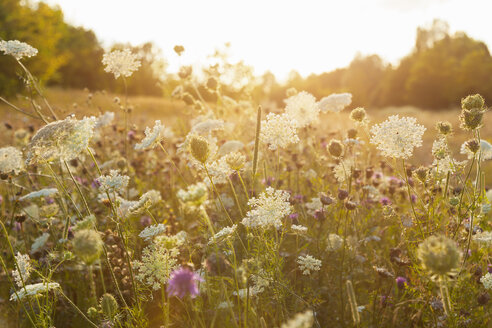 Nature in summer, wild flowers in meadow - HSIF000449