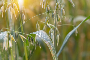 Agricultural, crop, oat - HSIF000452