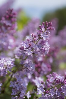 Lilac blossoms - ELF001754
