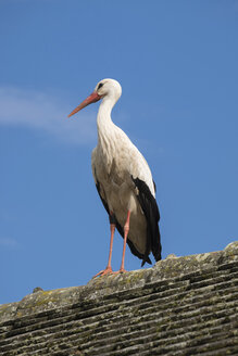White stork standing on rooftop - ELF001757