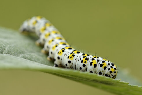 Caterpillar of Mullein moth on a leaf - MJOF001194