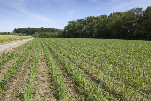 Germany, field with young maize plants, Zea mays - WIF003329