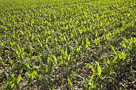 Germany, field with young maize plants, Zea mays - WIF003335