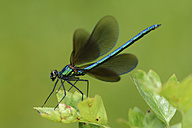 Male Beautiful Demoiselle on a leaf - MJOF001200