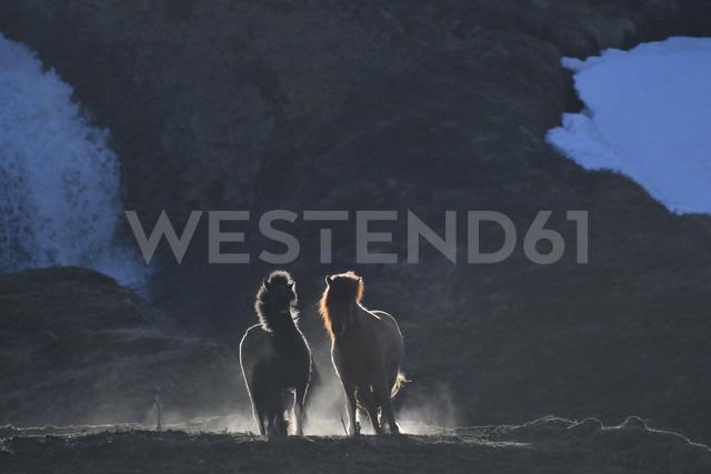 Iceland, two Icelandic horses at twilight - FDF000189