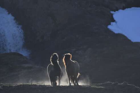 Iceland, two Icelandic horses at twilight - FDF000189