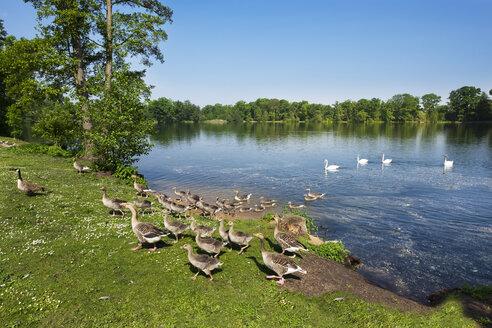 Germany, Bavaria, Nuremberg, public park  Dutzendteich, grey geese - SIEF007036