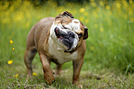 English bulldog shaking head on a meadow - MJOF001205