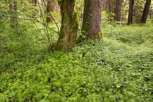 Germany, Bavaria, Isar floodplains, alluvial forest, woodruff, Galium odoratum - SIEF007046