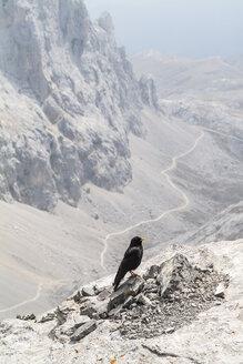 Spain, Cantabria, Picos de Europa National Park, UNESCO Biosphere Reserve, alpine chough, Pyrrhocorax graculus - HWOF000128