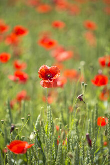 Field of poppies - MAEF011836