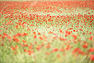 Field of poppies - MAEF011839