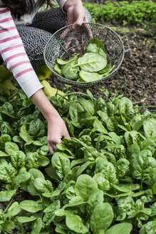Picking spinach in a home garden. Bio spinach - DEGF000824