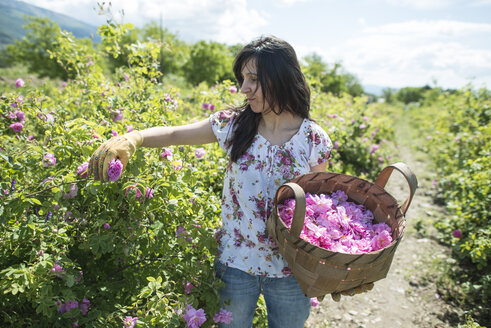 Woman picking rose blossoms - DEGF000839