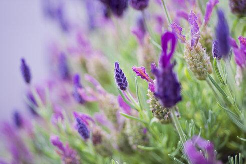 Topped lavender, lavandula stoechas - CZF000254