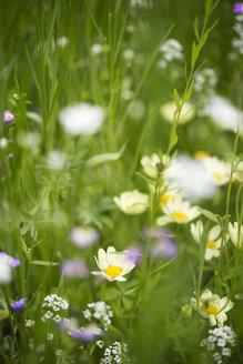Germany, flower meadow - MYF001604