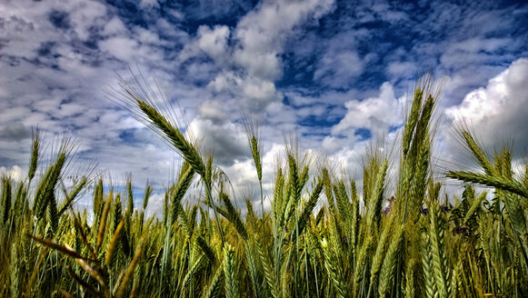 Field of barley under clouds in blue sky - MAEF011844