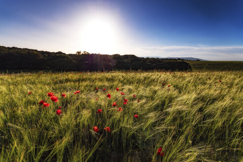 Spain, Andalusia, field of barley at sunset with poppies - SMAF000476