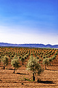 Spain, Andalusia, Olive plantation in spring - SMAF000485