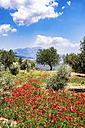 Spain, Andalusia, Olive grove trees, poppies in spring - SMAF000488
