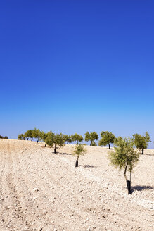 Spain, Andalusia, Olive plantation in spring - SMAF000491