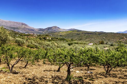 Spain, Andalusia, Periana, Olive plantation in spring - SMAF000494