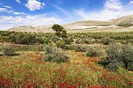 Spain, Andalusia, Olive grove, olive trees and poppies in spring - SMAF000500