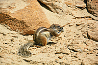 Barbary ground squirrel, Atlantoxerus getulus, eating a peanut at the rocks - AXF000782