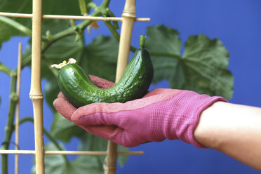 Woman's hand holding fresh cucumber, growing on potted plant - JTF000761
