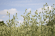 Spikes of an oat field - WIF003339