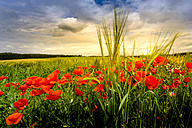 Germany, Bavaria, field with poppies at sunset - HAMF000211