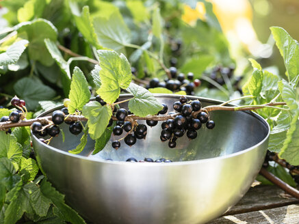 Blackcurrant (Ribes nigrum) berries on branches with a stainless steel bowl to collect them - HAWF000944