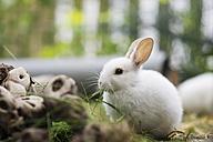 Little hare in enclosure - CHPF000229