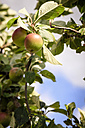 Apples growing on tree - EVGF003026