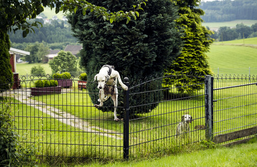 Dog climbing over fence - REAF000084