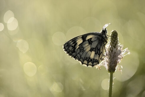 Marbled white hanging on blossom - MJOF001242