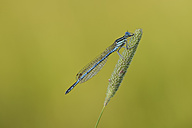 Blue featherleg on gras - MJOF001244