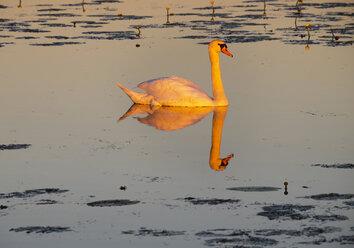 Germany, Baden-Wuerttemberg, mute swan, Cygnus olor, in the morning light - SIEF007069