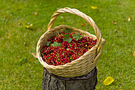 Wickerbasket of red currants - KLRF000433