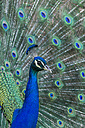 Portrait of Indian peafowl - JUNF000537