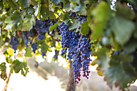 Red grapes hanging from vine - ZEF009337